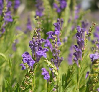 黄芩可降低卵巢癌细胞的活力并诱导自噬