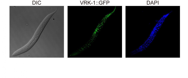 研究人员修补秀丽隐杆线虫蛋白为抗衰老药物带来希望