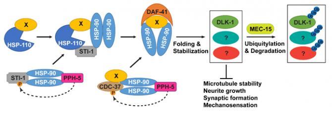 科学家发现了在神经元发育过程中平衡蛋白质稳定性的新机制