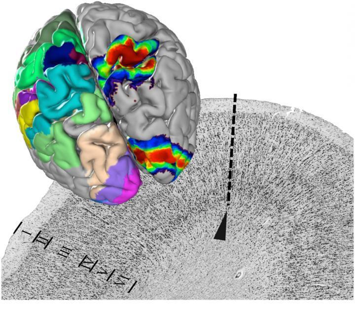 科学杂志介绍了EBRAINS人脑图谱的核心