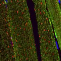 Mitophagy报告小鼠可以为未来的治疗和康复策略提供线索