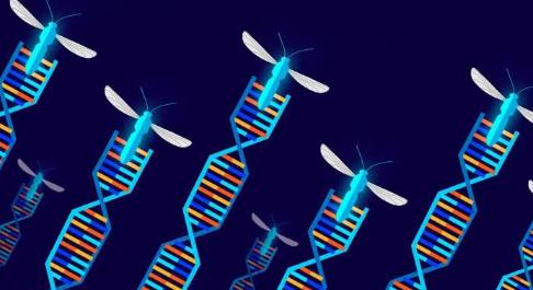 科学家为基因驱动生物的田间试验奠定了基础