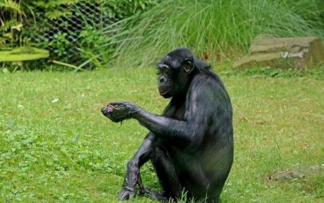 黑猩猩和bo黑猩猩发散的全基因组图谱
