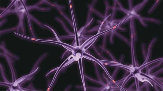 研究人员发现像星形胶质细胞这样的细胞类型可以调节代谢过程