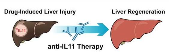 阻断IL-11信号可以帮助药物性损伤后肝脏再生