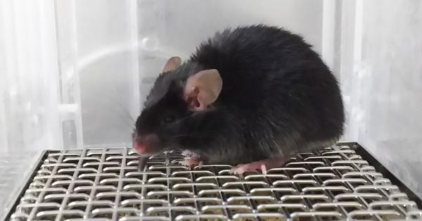 老鼠体内的褪黑激素比睡眠更重要