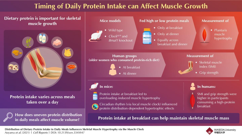 研究人员发现在早餐期间摄入蛋白质以增强肌肉的最佳时间