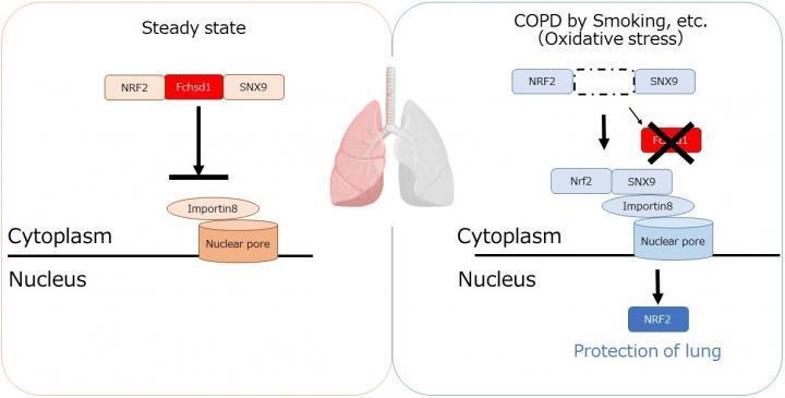 如何为肺气肿研究呼吸新鲜空气