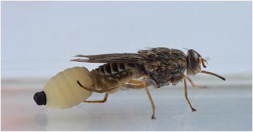 热带苍蝇研究表明母亲的年龄和饮食会影响后代的健康