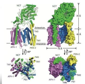 科学家发现参与斑块产生的γ-分泌酶的早期组装