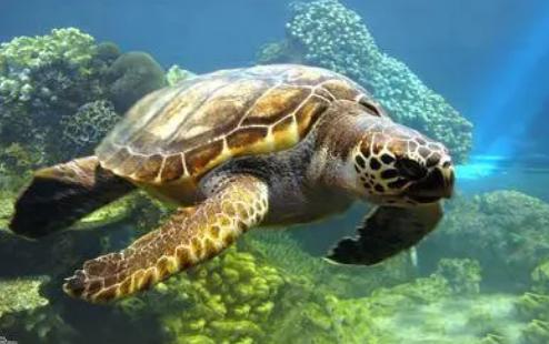 新的研究表明塑料污染为幼年海龟制造了一个进化陷阱