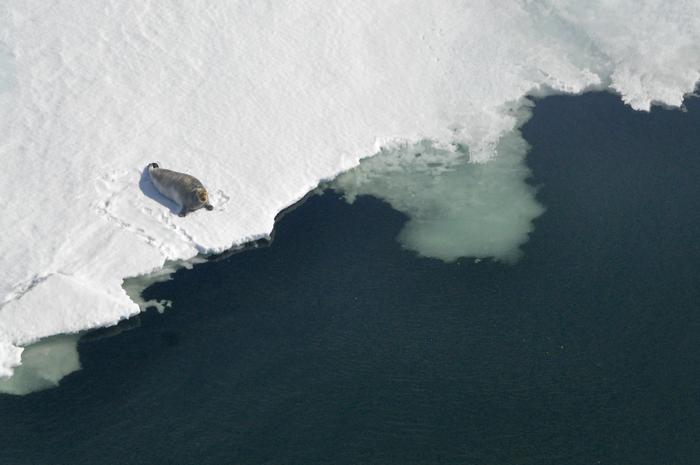 气候变化威胁到阿拉斯加土著人的海豹捕猎
