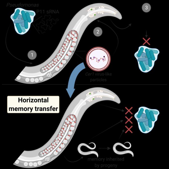 普林斯顿科学家发现了一种秀丽隐杆线虫个体之间记忆转移的机制