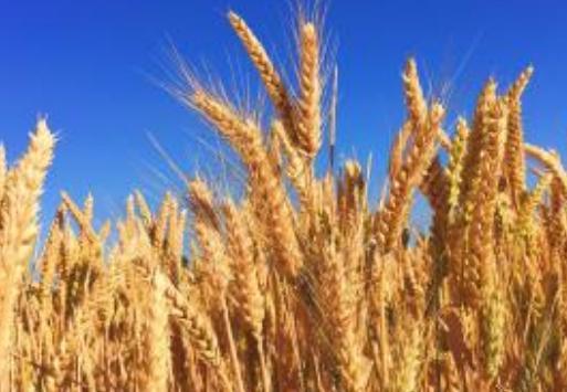 具有潜力的稀有大麦突变