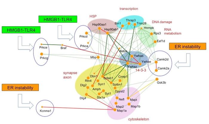 研究人员确认了额颞叶和阿尔茨海默病中痴呆的关键蛋白质介质