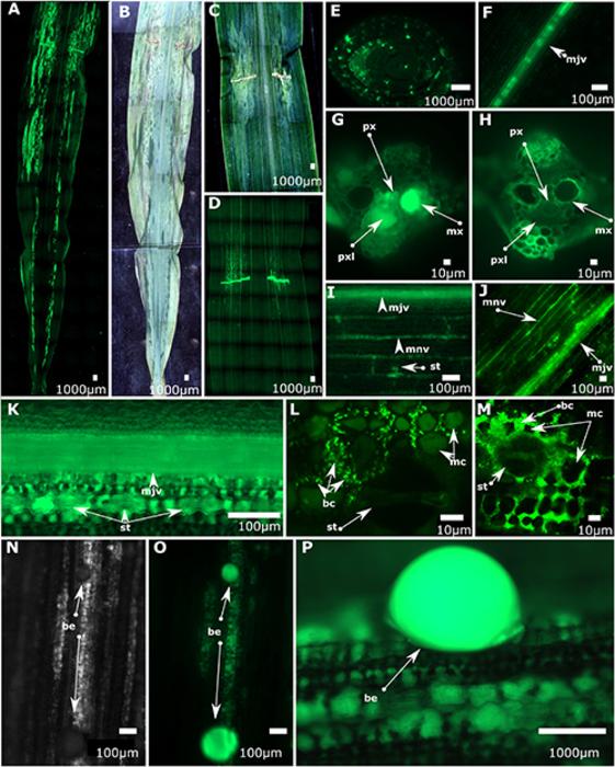 细菌通过玉米叶边缘的自然开口进入导致高斯枯萎病