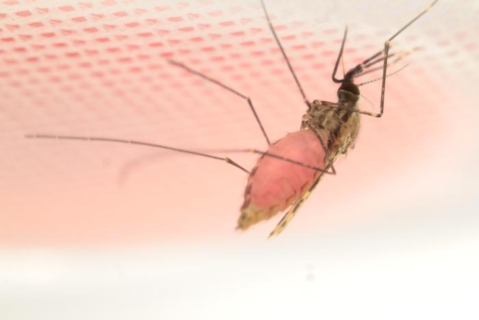 一种环保的有毒鸡尾酒可能成为对抗疟疾的新武器