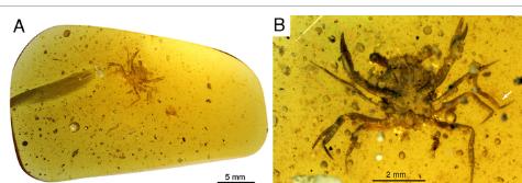 国际研究小组发现第一只恐龙时代的螃蟹完全保存在琥珀中