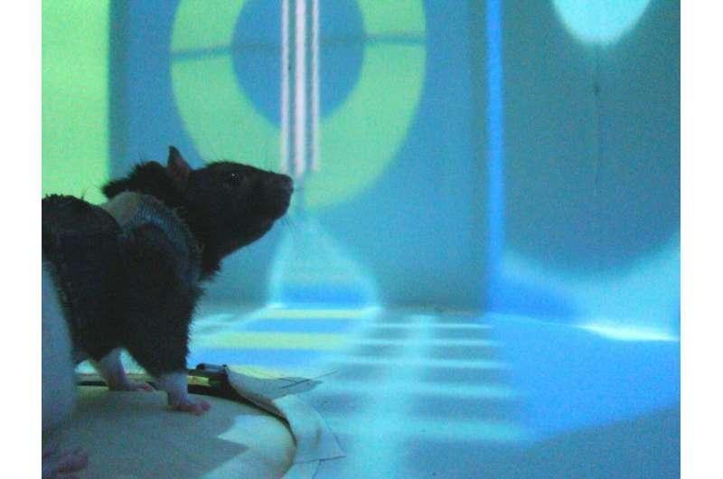 大鼠 VR实验提供了关于神经元如何促进学习的新见解