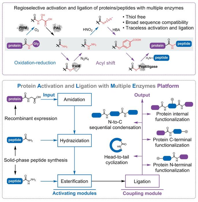 科学家开发了多酶平台用于无序列限制的无痕蛋白质合成