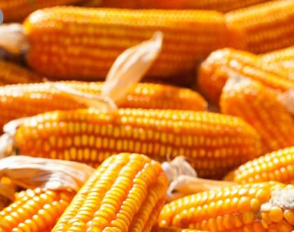 研究探讨气候变化如何影响美国玉米种植带的降雨