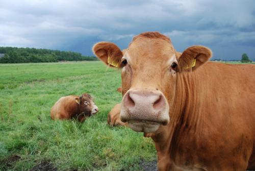 牛肠道研究发现了可以提高产量的虫子