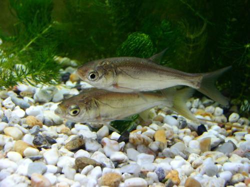 芝加哥的水污染可能会使入侵的鲢鱼远离五大湖