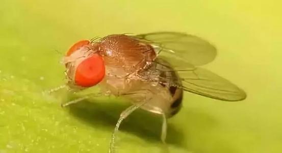 研究人员追踪果蝇的视觉进化