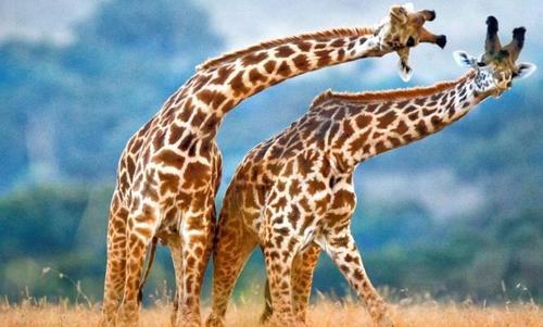 野生动物会议为长颈鹿提供更多保护