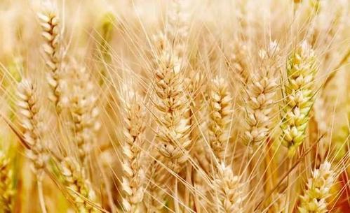 新的DNA测序仪方法实现了小麦疾病的早期和广泛检测