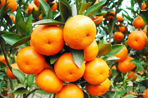 阻止致命柑橘绿化的治疗方法