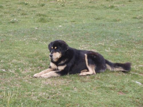 研究详细介绍了藏狗如何得到氧气