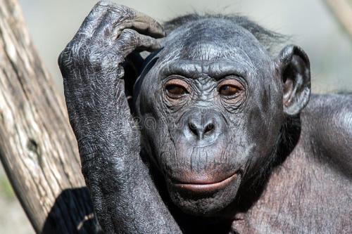 新的见解有助于解释为什么同性性交互对女性倭黑猩猩如此重要