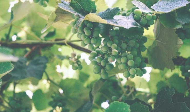 葡萄令人惊讶的遗传多样性