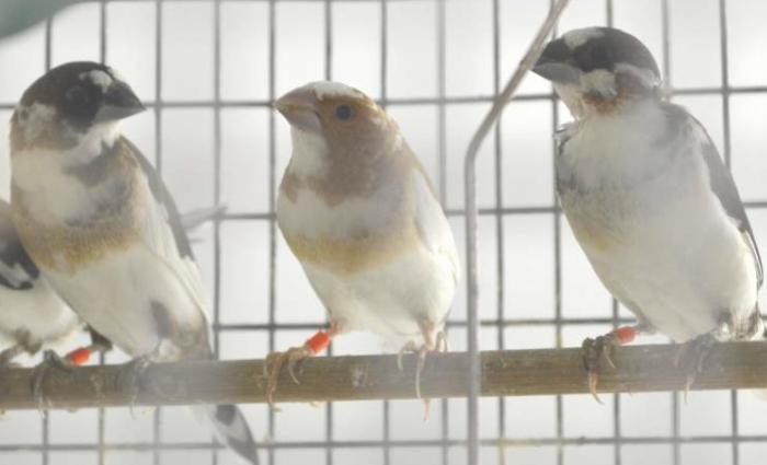 基因定制的教学改善了鸣鸟学习