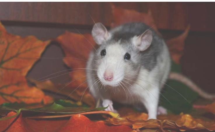 纽约市的科学家发现了追踪老鼠的有价值的方法