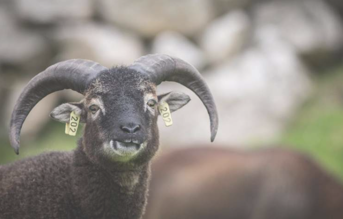 羊研究发现野生动物的免疫系统随着年龄的增长而下降