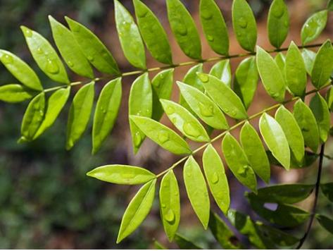 东南亚灌木丛如何预防骨质疏松症等骨侵蚀性疾病