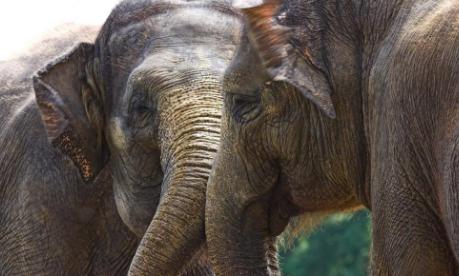 研究发现大象可以利用嗅觉计数食物