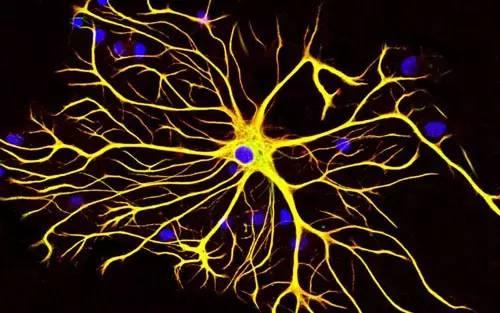星形胶质细胞可以改变髓鞘厚度以改变神经元传输速度