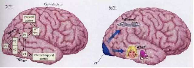 视觉皮层在眼动反射可塑性中发挥作用