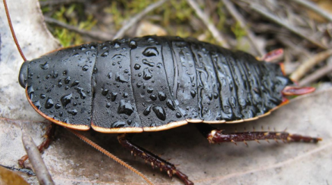 研究人员警告说蟑螂对各种杀虫剂具有交叉耐药性