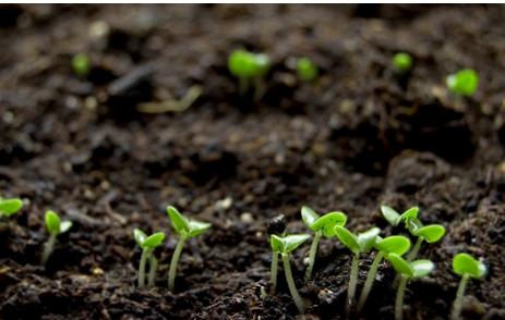 使用生物肥料可以加速人参的生长