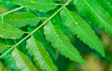 科学家研究植物如何维持水平衡以期改善农业
