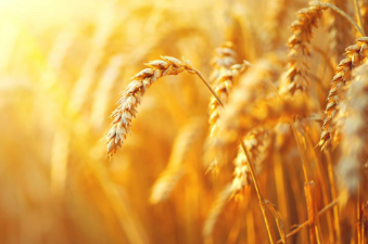 亚麻籽和米糠为什么可以成为保健食品的良好来源
