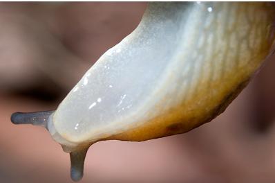 蜗牛独特的块状胶可用于制造更好的医用胶粘剂