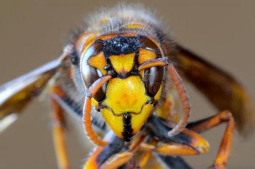 黄蜂毒液控制心灵的分子有一天可以帮助帕金森氏症患者