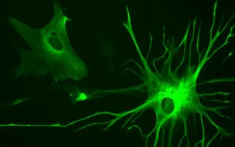 星形胶质细胞控制大脑的昼夜节律