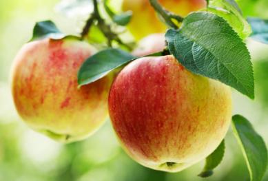 苹果提取物可以促进干细胞再生并帮助维持体内平衡
