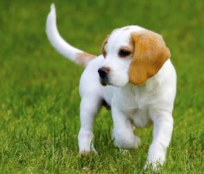 研究人员表示犬类的气味检测可以用作与癌症的筛查